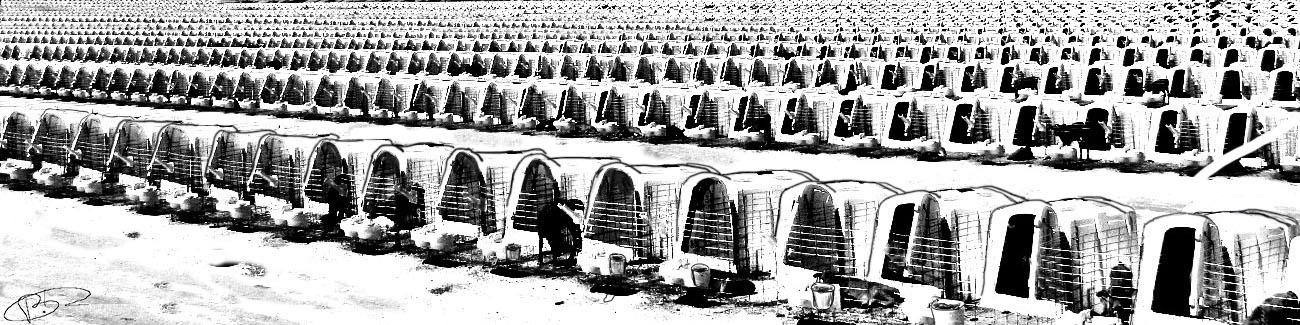 Camp d'engraissement
