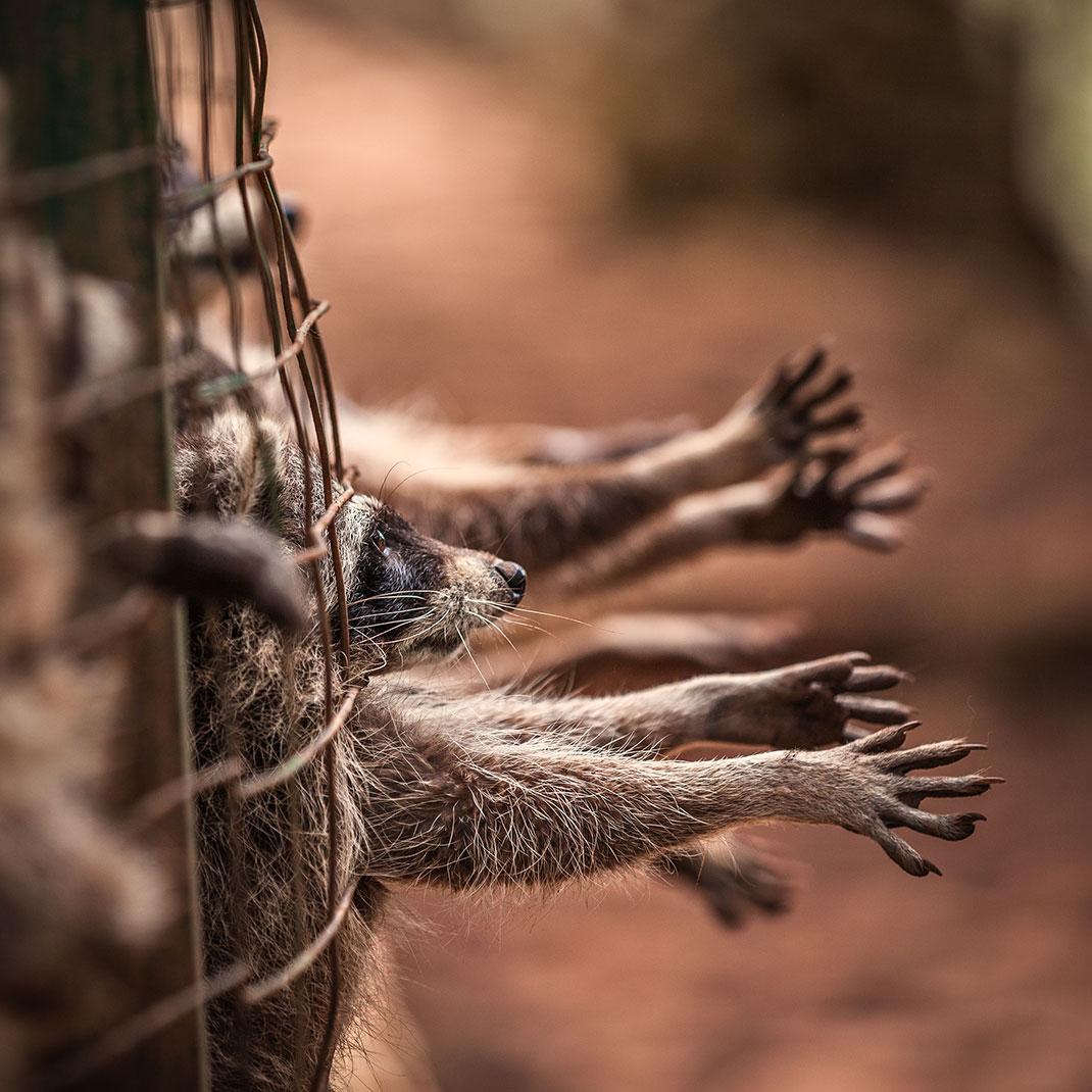Ratons laveurs en cage